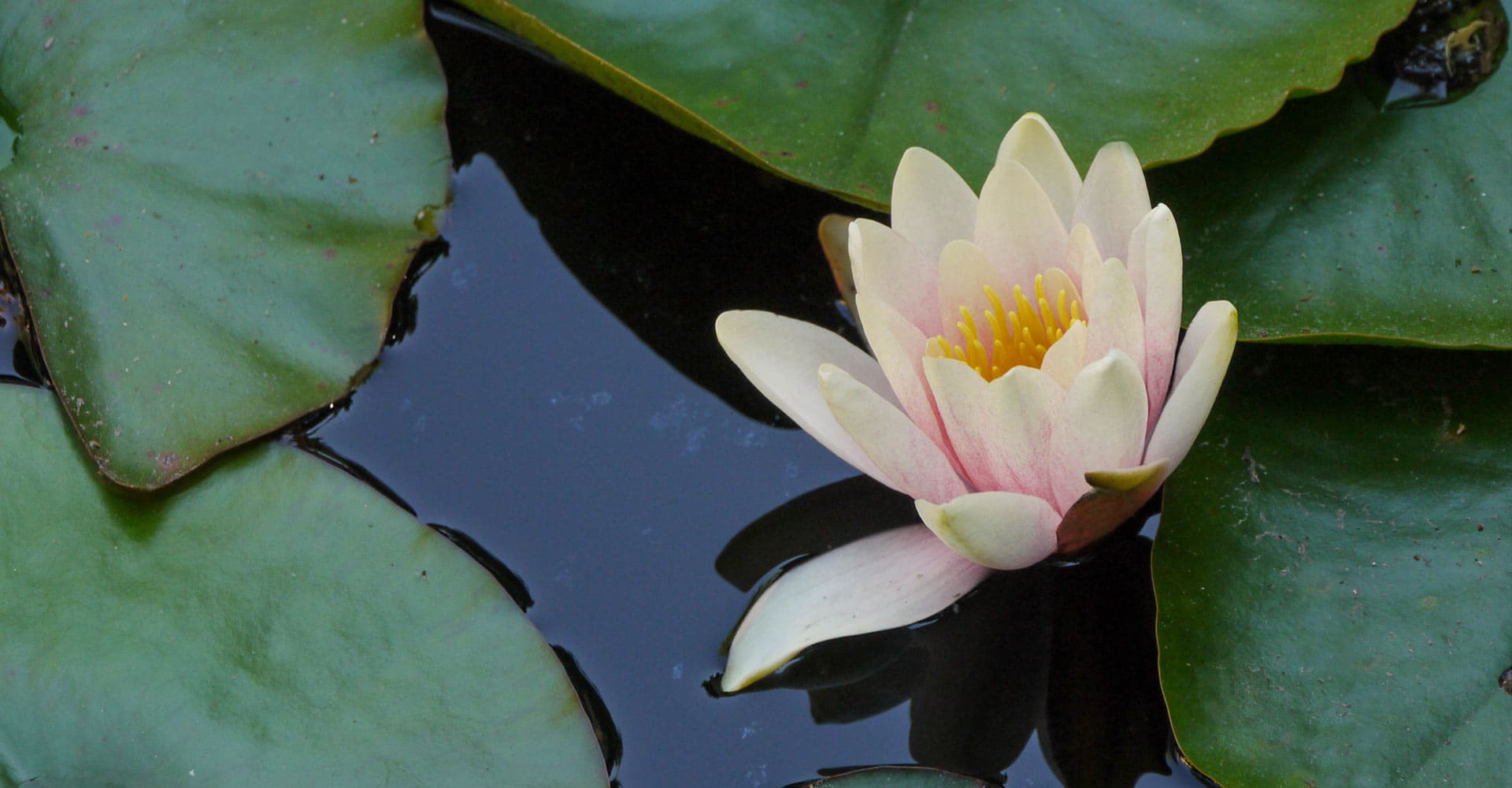 Image of a Lotus among Lily Pads