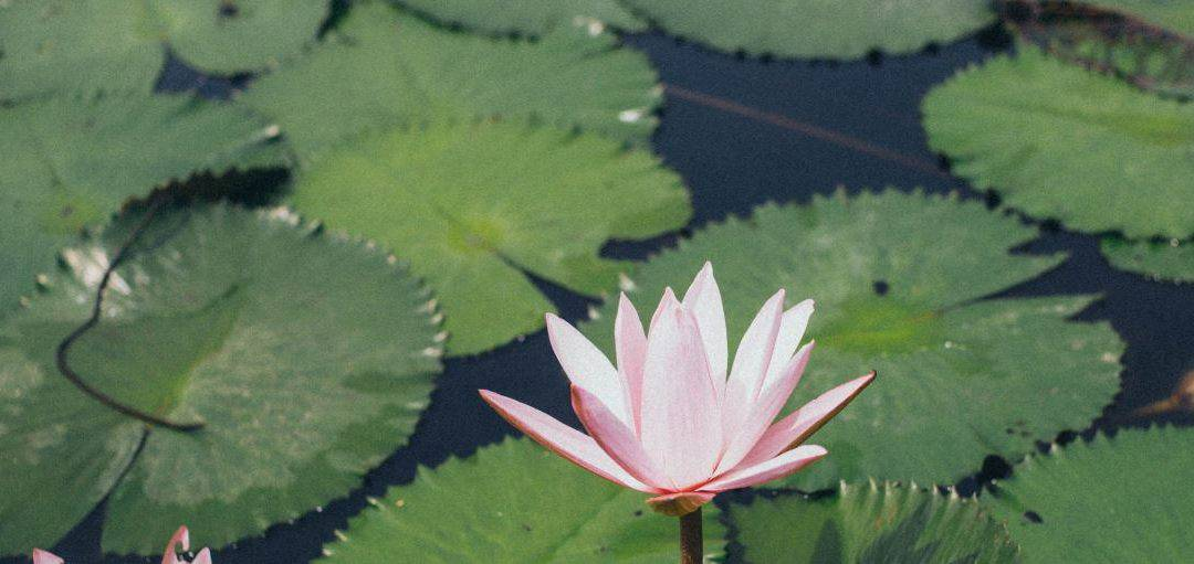 Padmakara Garden: A Lotus Beginning to Unfold